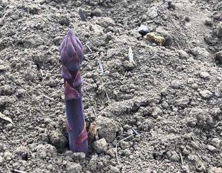 На Херсонщині збирають фіолетову спаржу