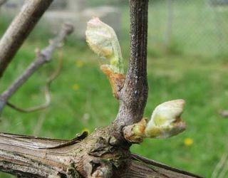 Одна гусениця димчастого буро-сірого п'ядуна знищує до 10 бруньок винограду