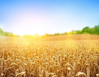 Колосіння пшениці на Запоріжжі розпочнеться на два тижні раніше