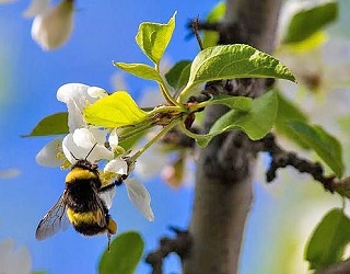 Джмелі-запилювачі в 25 разів ефективніші за бджіл