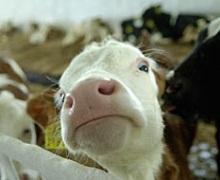 На Луганщині створять молочний кооператив