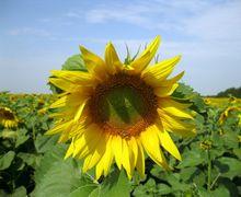 Альтернаріозом уражуються всі надземні органи рослин соняшнику