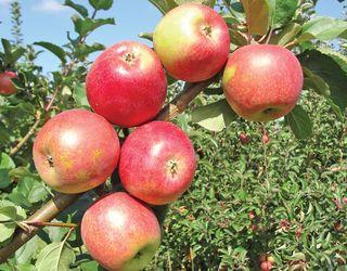 Вчені вивели нові сорти яблунь, імунні до парші й стійкі до борошнистої роси