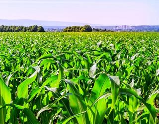 Кукурудза дуже чутлива до браку мікроелементів