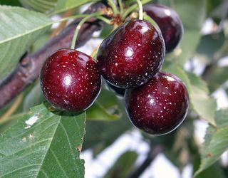 На цьогорічному врожаї плодів і ягід дуже сильно позначиться різке потепління