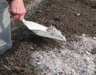 Попіл використовують в органічному ягідництві для покращення ґрунту