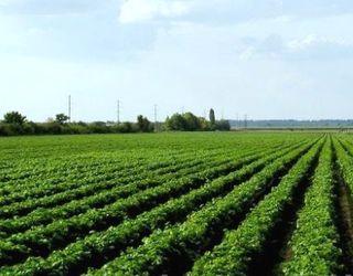 Херсонське господарство має складнощі з виробництвом виноградних саджанців, права на сорти яких належать кримському «Магарачу»