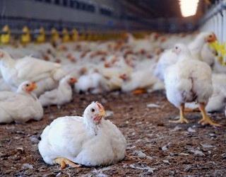 Антибіотики можуть сприяти колонізації сальмонели у стаді курчат-бройлерів