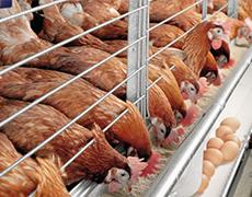 Курник із сендвіч панелей: сучасне житло для птиці