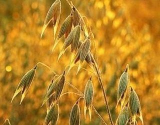 Через хвороби втрати врожаю вівса можуть перевищувати 50%