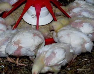Тригліцерид масляної кислоти підвищує середньодобовий приріст курчат-бройлерів на 5,2%