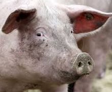 Від АЧС загинули свині на Черкащині й Одещині