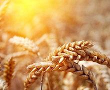 Масове достигання озимої пшениці цього року розпочнеться на 1-2 тижні раніше