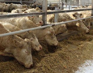 Хронічний ацидоз рубця у корів можуть спровокувати варені кислі корми