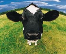 Брак грубих кормів може спричинити ацидоз у корів