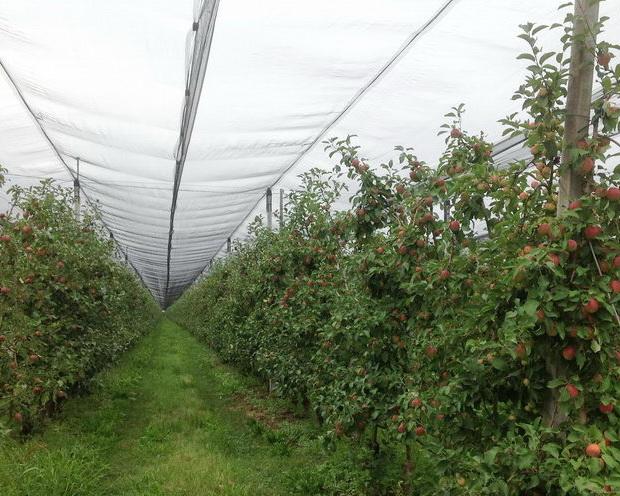Буковинське господарство накриє сади яблуні протиградовою сіткою