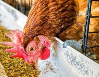 Внесення магнію в корми для птиці покращує якість м'яса