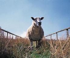 Влітку частіше трапляються випадки захворювання тварин на блутанг