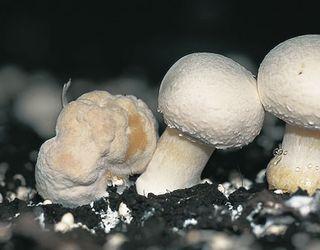 Greenyard Mycoculture у серпні почне виробляти третю фазу компосту для печериць