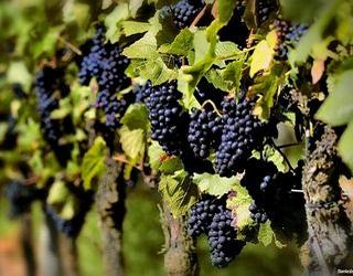 Прищипування пагонів зменшує осипання квітів і ягід винограду