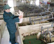 На свинофермах варто застосовувати дезінфектанти з дуже високим або низьким рівнем рН