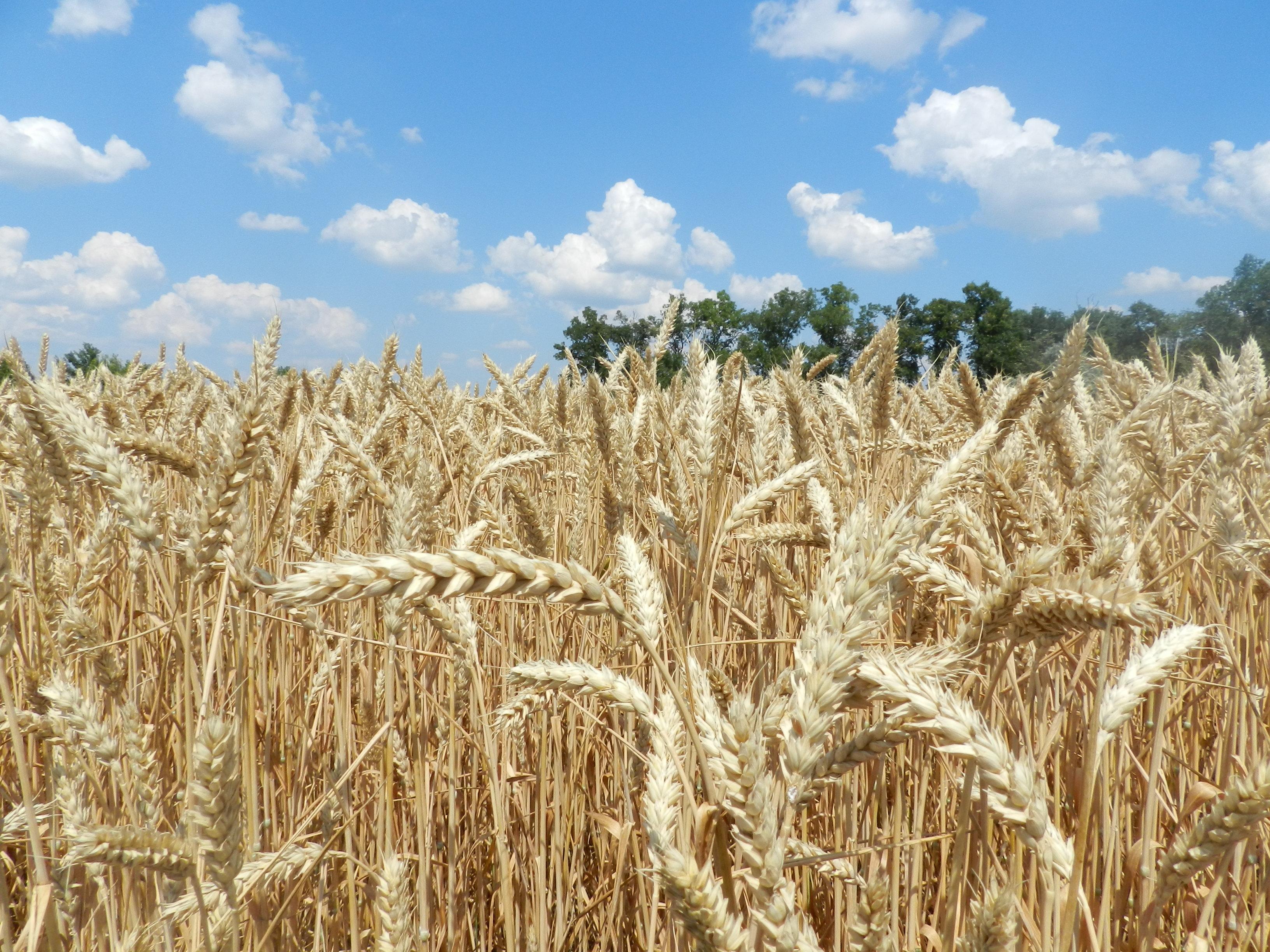 «СК Бужок» вирішив сфокусуватись на вирощуванні зернових