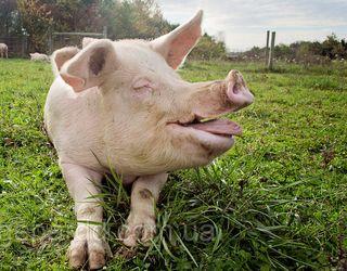Пробіотичні дріжджі позитивно впливають на ріст свиней під час теплового стресу