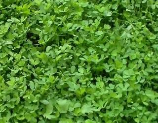 Насінники люцерни краще розміщувати на невеликих ділянках