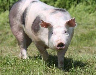 Свиней породи п'єтрен вирощують на бекон