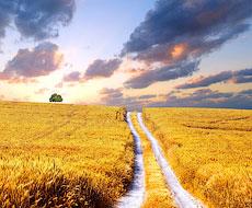 Цього року врожай зерна на Черкащині зросте на 20%