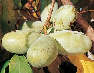 Азимина – зимостійка плодова культура, яка не має хвороб і шкідників
