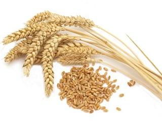 Урожайність пшениці Agromino на Миколаївщині на 30% нижче прогнозу