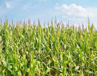 Коливання температури і короткочасні опади сприятимуть поширенню пухирчастої сажки кукурудзи