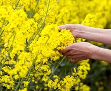 В Україні розпочато збирання ярого ріпаку