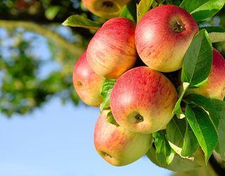 Заводи T.B. Fruit почали приймати яблука нового врожаю