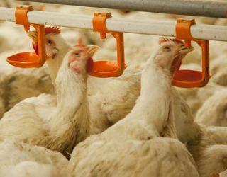 Птиця має потребу в додатковому введенні в корм вітаміну В5