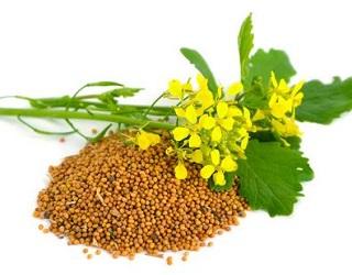 95% гірчичного насіння – корисна продукція