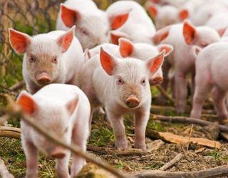 Для створення активного імунітету свиней, сприйнятливих до лептоспірозу, вакцинують