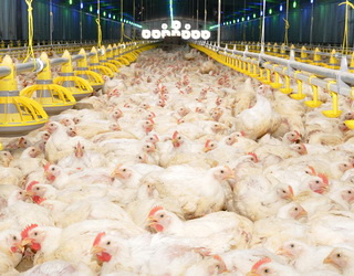Отруєння птиці госиполом різко знижує заплідненість яєць