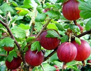 Аґрус можна вирощувати разом із смородиною