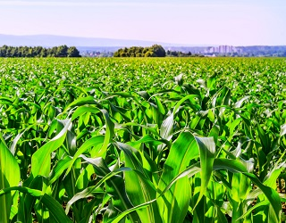 Дефіцит фосфору сприяє розвитку цефалоспоріозу кукурудзи