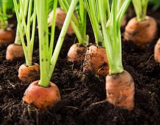 Збирати моркву механізованим способом можна лише за наявності здорової гички