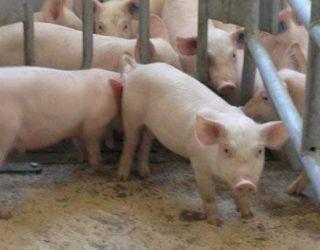 Ціни на живець свиней практично незмінні