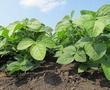 Розвитку кореневих гнилей сої сприятимуть перезволоження ґрунту і коливання температури