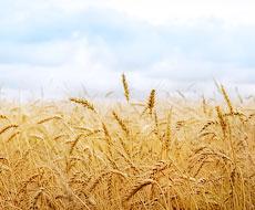 Ранні зернові зібрано з понад 80% прогнозованих площ