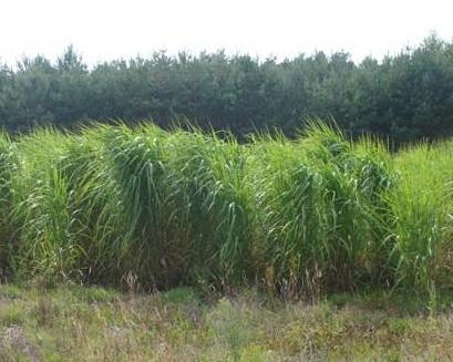 Цьогорічне літо сприяє доброму врожаю міскантуса гігантського
