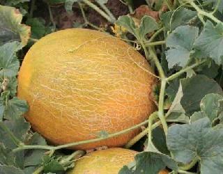 Рентабельність вирощування дині в теплиці становить 25-30%