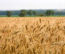 «Агропродсервіс» зібрав 60% озимої пшениці і 30% ярого ячменю