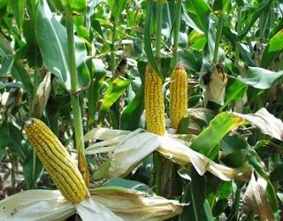 Цього року очікується інтенсивне поширення фузаріозу качанів кукурудзи