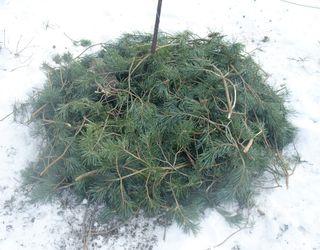 Снігове укриття захистить виноградну лозу від екстремально низьких температур